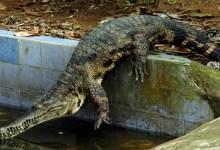 Photo de Cameroun : Un crocodile retrouvé dans une maison à Garoua