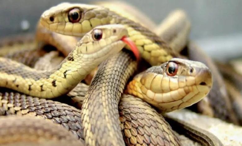 Serpents en tas