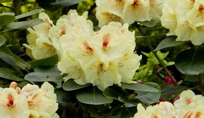 Ogród pełen azalii i Różaneczników