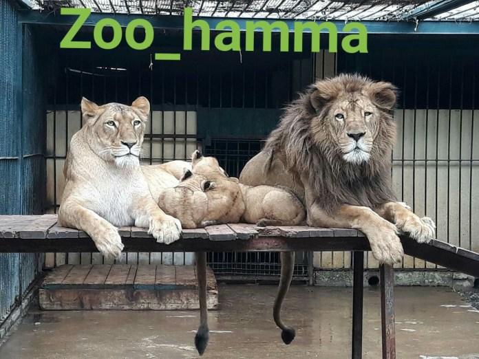 Zoo du Jardin d'Essai d'El-Hamma : trois lionceaux présentés au public