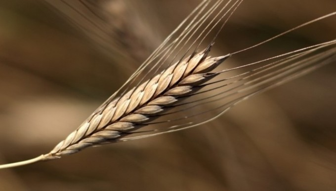 einkorn-wheat1-e1351782668239-680×387