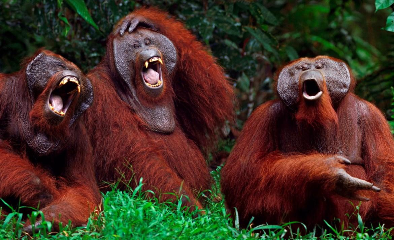 libros_para_morir_de_risa_orangutanes