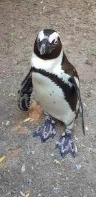 Penguines (1)