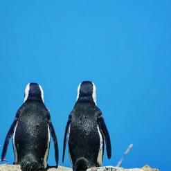 Penguines (5)