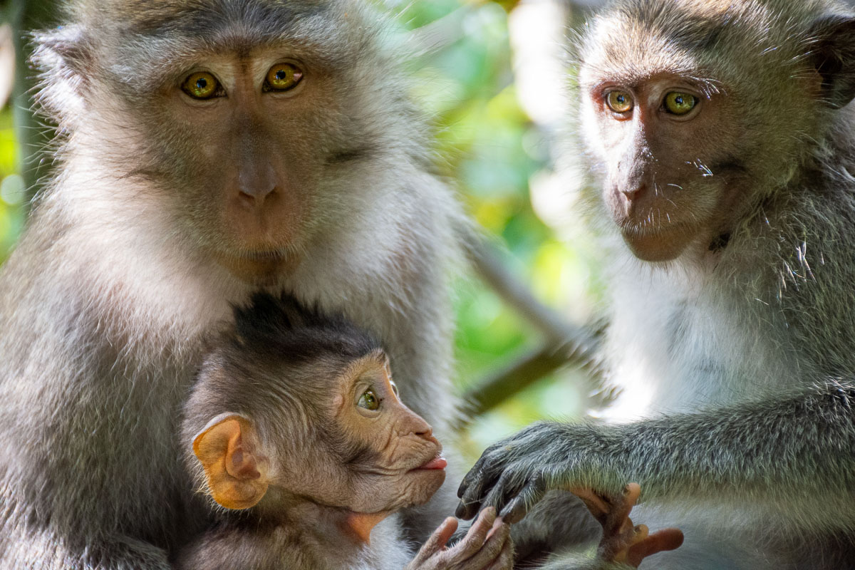 Monkey forest Ubud : a spasso tra le scimmie