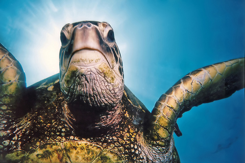 Tripod, the Green Sea Turtle by Flickr's Motleypixel