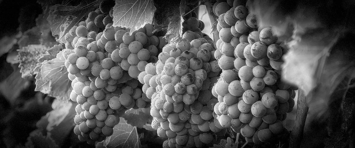 2Hawk Vineyard and Winery Grapes on the Vine (Grayscale)