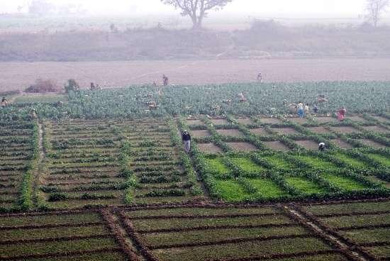 Vegetable Growers in their Fields