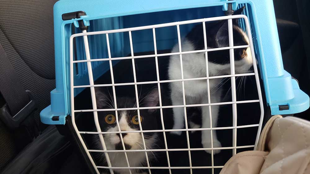 Two black and white kittens in transport carrier.