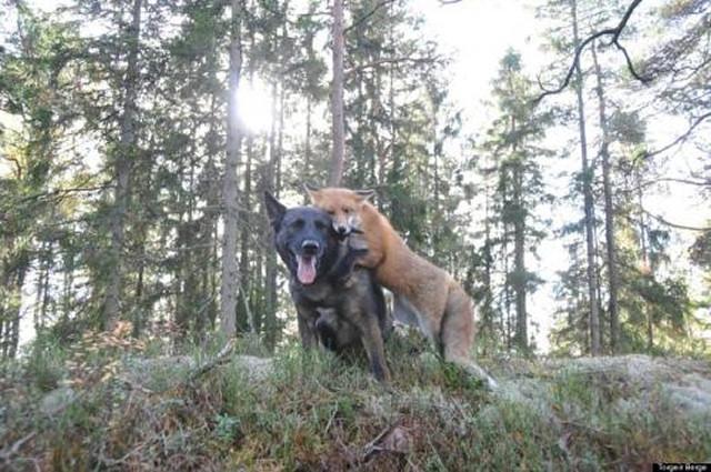 Mød Sniffer og Tinni, en vildræv og en tamhund, der er blevet fine venner i bedste Disney-stil.