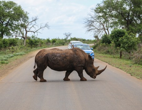 Rhino crossing road in Kruger Safari