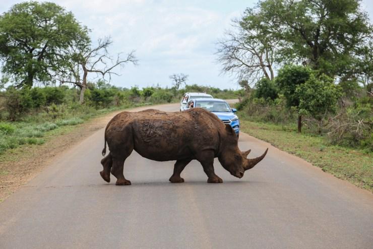 Rhino crossing road in Kruger Safari
