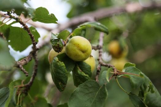 Fruits in Hunder plantation