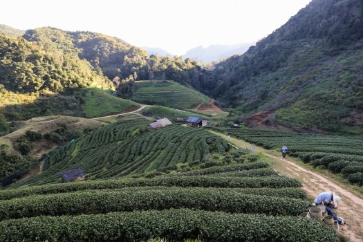 2000 Tea Plantation