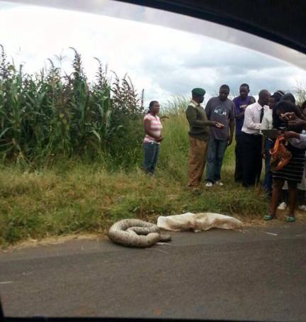 Bystandaers look at the snake thrown out of a moving vehicle in Borrowdale -  MYZIMBABWE