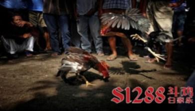 Agen S128 Sabung Ayam Online Terbaik di Indonesia 300x171 SABUNG AYAM