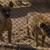 Les hyènes étaient amaigries. © Four Paws