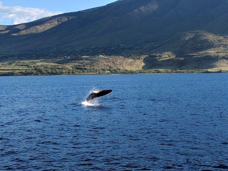 Lahaina Maui Whale Watch