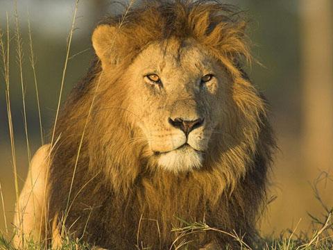 夢見養獅子是什麼意思 做夢夢到養獅子好不好_關於解夢