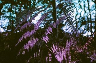 Lomo Purple-2