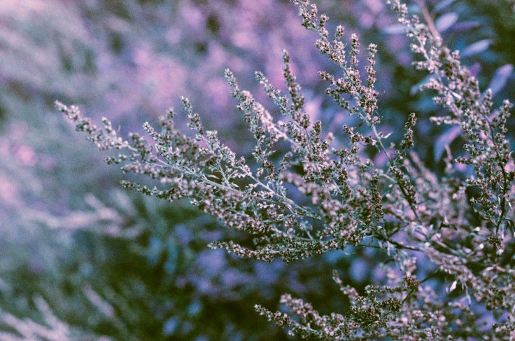 Lomo Purple-5