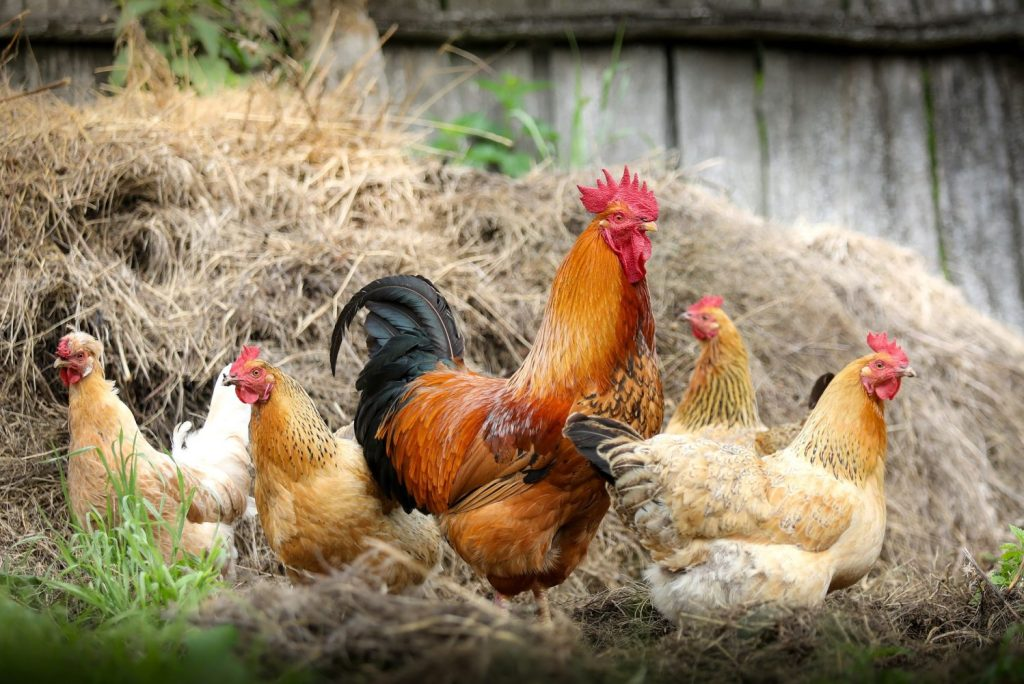 Raising backyard chickens can be daunting for beginners. If you've been  thinking about it, it's important to do your research first and consider  things like ... - COOP, There It Is! A Beginner's Guide To Raising Backyard Chickens