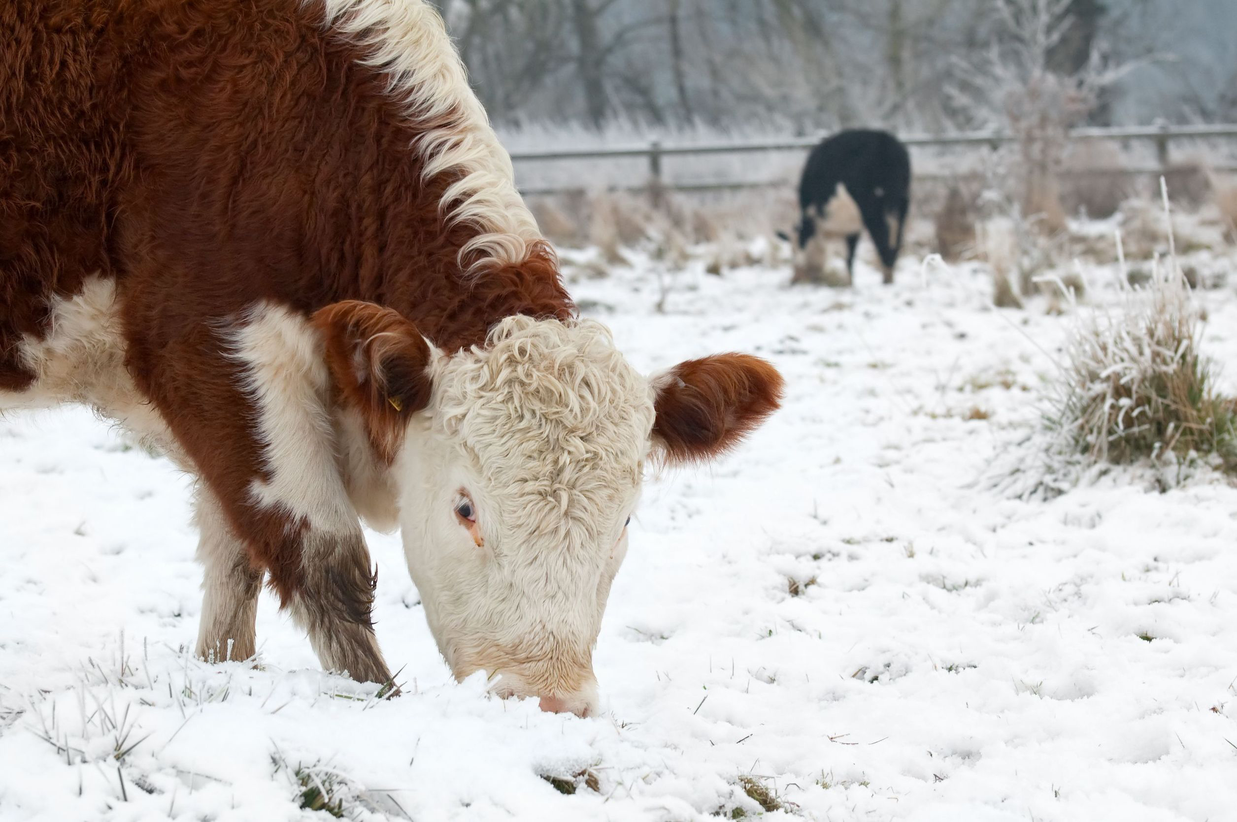 Protect Livestock During Winter
