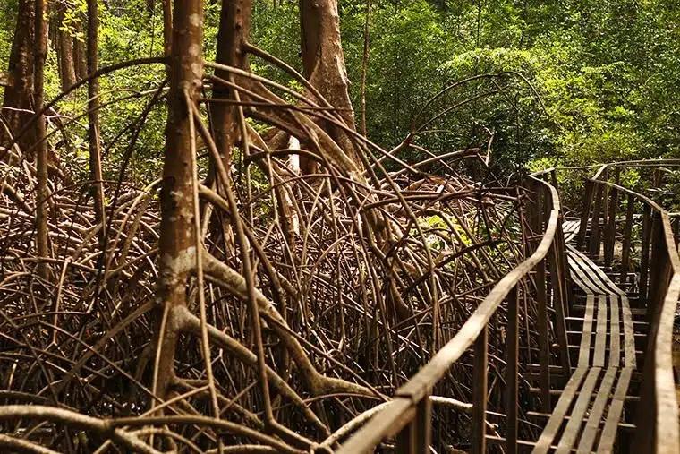 Resultado de imagem para passarela de madeira sobre manguezais na ilha de marajo