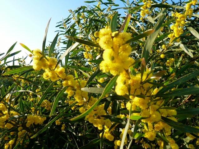 Wolken von gelb leuchtenden Mimosen begegnen mir in diesen Tagen bei jeder Fahrt über die Isola di San Pietro. ©Foto: skr