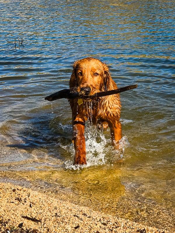 Logan the Golden Dog carrying a stick at Bartlett Reservoir, AZ.