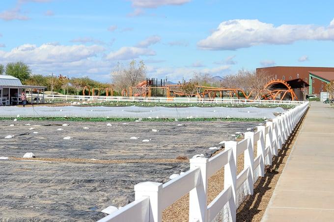 A field at Steadfast Farm, Mesa, AZ.