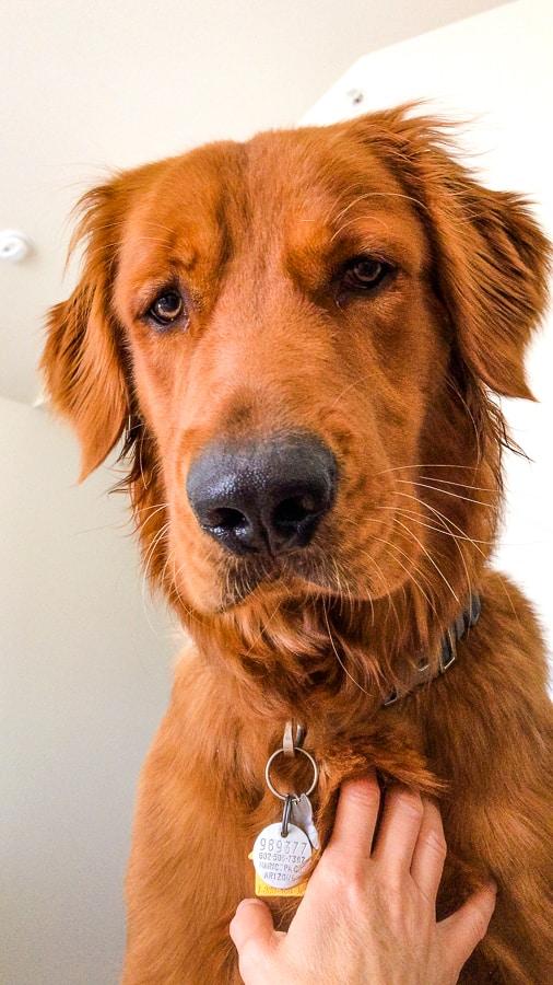 Logan the Golden Dog