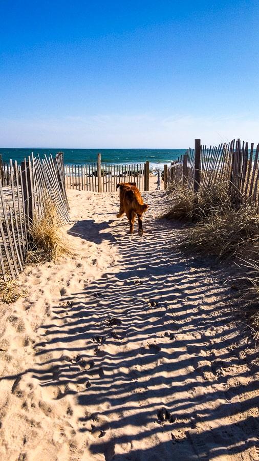 Logan the Golden Dog at Quonochontaug Beach in Charlestown, RI.