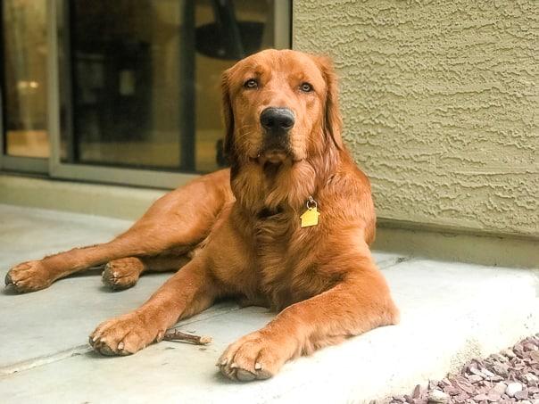 Logan the Golden Dog at home in Arizona.
