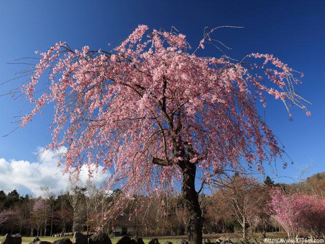 枝垂れ桜/野鳥の森公園