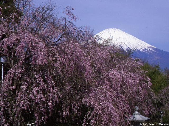 シダレ咲く富士/御殿場市平和公園