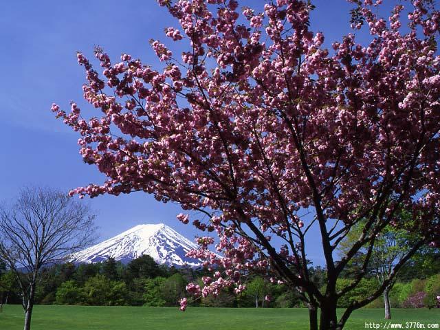 八重桜咲く富士/諏訪ノ森