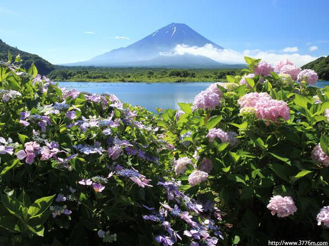 アジサイ咲く/精進湖