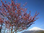 八重桜と富士山