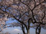 桜/東山湖