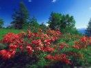 レンゲツツジ咲く甘利山