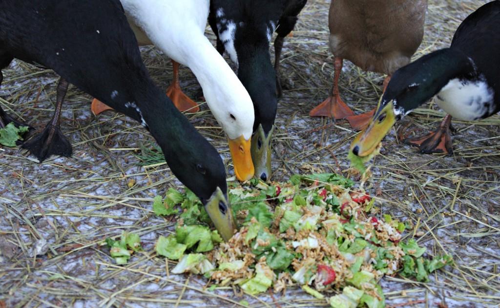 duck snacks