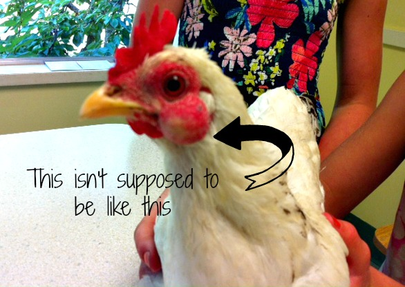 Would you take a chicken to the Vet?