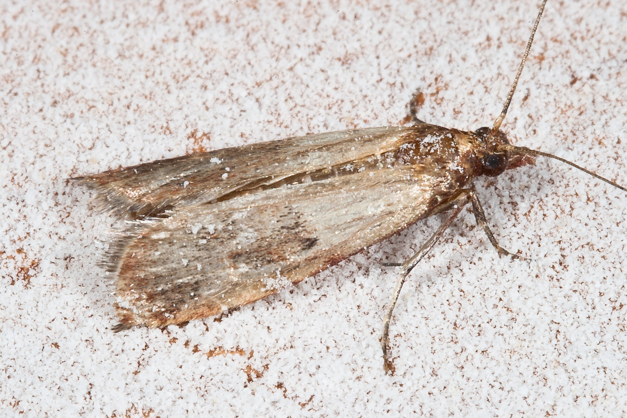 How to manage your meal moth infestation so they don 39 t for Pantry moths