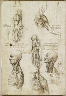 The anatomical study by Leonardo Da Vinci