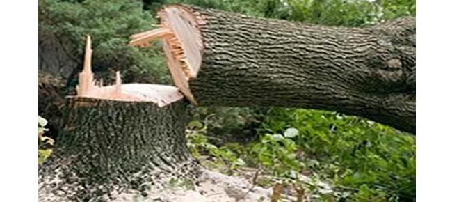 Árvores centenárias são derrubadas nas BR 104 em Macieó (Crédito: Divulgação)
