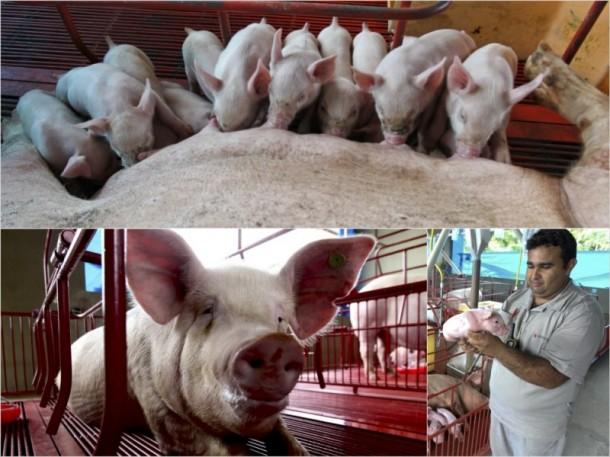 Atualmente a empresa abate 400 animais por mês, mas a expectativa é abater 220 leitões por dia (Fotos: Arquivo Secom)