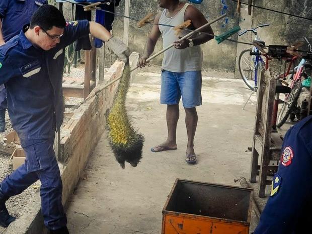 Porco-espinho é encontrado em residência de Rio Branco (Foto: Irlla Itani/Arquivo Pessoal)