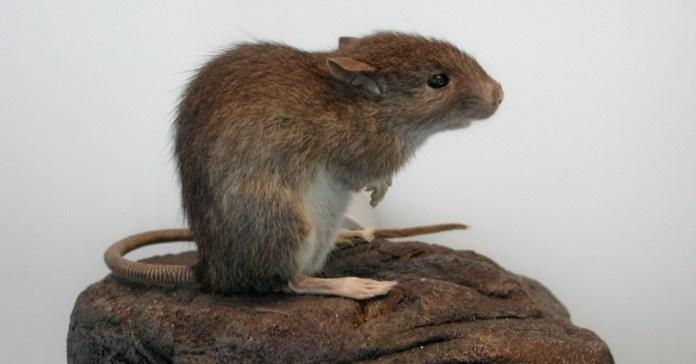 30set2013---nova-pesquisa-mostra-que-a-base-da-proteina-da-dieta-dos-nativos-da-ilha-de-pascoa-vinha-do-rato-do-pacifico-rattus-exulans-e-nao-de-frutos-do-mar-como-os-cientistas-acreditavam-antes-o-1380571860459_956x500