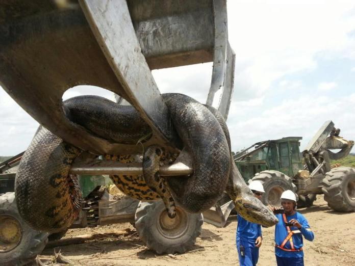 Cobra é suspensa por máquina após ser capturada/Foto: Reprodução WhatsApp